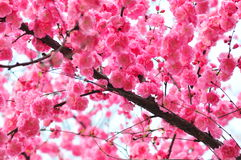 Jasmim cor-de-rosa Imagens de Stock