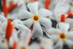Jasmim de florescência da noite Foto de Stock
