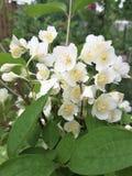 Jasmim de florescência do arbusto bonito no jardim no verão imagens de stock royalty free