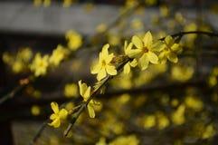 Jasmim de inverno Foto de Stock Royalty Free