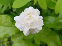 Jasmim do sambac do Jasminum Fotografia de Stock