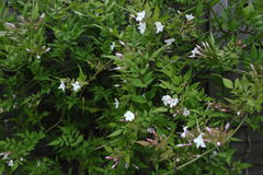Jasmim - Jasminum foto de stock
