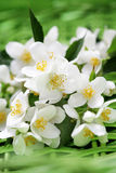 Jasmin λουλούδια Στοκ εικόνα με δικαίωμα ελεύθερης χρήσης