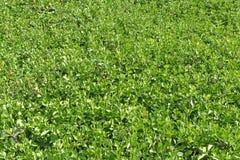 Jasmin asiatique avec la croissance fraîche au printemps Image stock