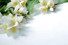 Jasmin background Royalty Free Stock Image