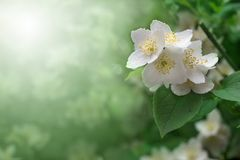 Jasmin Stock Photography