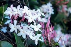 Jasmin blüht in voller Blüte Lizenzfreie Stockbilder