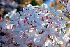 Jasmin blüht in voller Blüte Stockfotografie