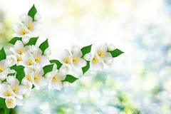 Jasmin blanc les fleurs de ressort de branche Photographie stock libre de droits