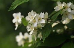 Jasmin blanc sur une branche Photographie stock libre de droits