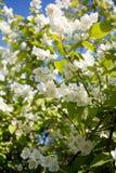 Jasmin blossom tree Royalty Free Stock Photo