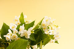 Jasmin bouquet Royalty Free Stock Images