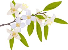 Jasmin branch illustration Stock Images