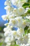 Jasmin de floraison Photo libre de droits