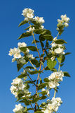 Jasmin de floraison contre le ciel bleu, région de Tver, Russie Image stock