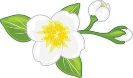Jasmin de floraison d'isolement sur le blanc photographie stock