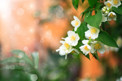 Jasmin de floraison de branche Photos libres de droits
