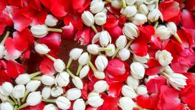 Jasmin de fond et roses, festival de Songkran Photographie stock libre de droits