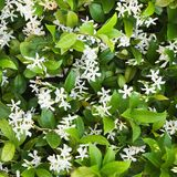 Jasmin fleurissant. Photo stock