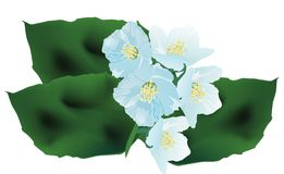 Jasmin flower branch on white illustration Royalty Free Stock Photos