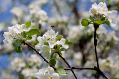 Jasmin flowers and bee, pollinating them. During spring time Stock Photography