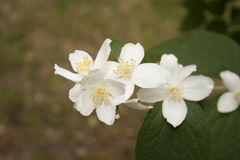 Jasmin flowers Royalty Free Stock Image