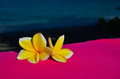 Jasmin flowers. Two yellow jasmin flowers from Indonesia Royalty Free Stock Images