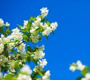 Jasmin gegen blauen Himmel lizenzfreie stockfotos