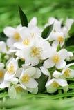 Jasmin kwiaty Obraz Royalty Free