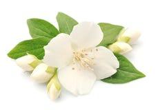 Jasmin kwiaty Zdjęcia Royalty Free
