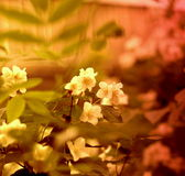 Jasmin nature beauty. Beautiful garden Jasmin flowers on sunset nature beauty royalty free stock photography
