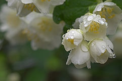 Jasmin after the rain. Jasmine flowers with rain drops on a summer evening Stock Images