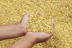 Jasmin ripe rice Royalty Free Stock Images
