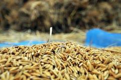 Jasmin ripe rice Royalty Free Stock Photography