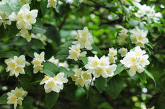 Jasmin tree Stock Images