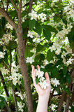 Jasmin tree Stock Photos