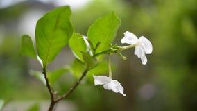Jasminblomma i naturen, Thailand arkivfilmer