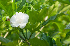 Jasminblume auf Baum Stockfotografie