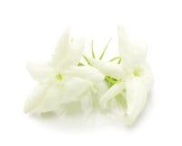 Jasminblume mit Blättern Stockfoto