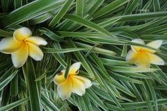 Jasminblumen auf grünem Gras stockbilder