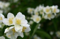 Jasminblumen in der Blüte Stockbilder