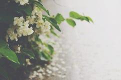 Jasminblumen nach dem Regen morgens Stockbilder
