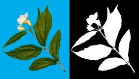Jasmine απεικόνιση λουλουδιών σχεδίου κλάδων Στοκ Εικόνες