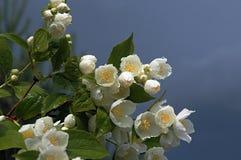 jasmine λευκό στοκ εικόνες