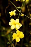 jasmine λουλουδιών χειμώνας Στοκ Φωτογραφίες