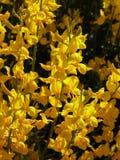 jasmine λουλουδιών Στοκ φωτογραφίες με δικαίωμα ελεύθερης χρήσης