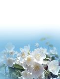 jasmine λουλουδιών Στοκ εικόνα με δικαίωμα ελεύθερης χρήσης