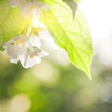 jasmine λουλουδιών Στοκ φωτογραφία με δικαίωμα ελεύθερης χρήσης