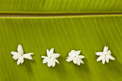 jasmine μπανανών φύλλο Στοκ εικόνα με δικαίωμα ελεύθερης χρήσης
