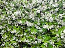 jasmine λουλουδιών διαφορών ανασκόπησης συμπαθητικό εποχιακό θέμα στοκ εικόνα
